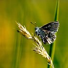 Common Blue Butterfly by Rachelo
