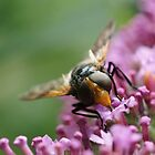 Large Unusual Hoverfly on a Flower by MendipBlue
