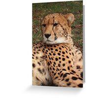 Cheetah in repose Greeting Card