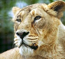 Asiatic Lioness  - (Panthera leo persica) by Robert Taylor