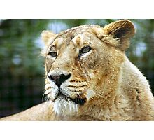 Asiatic Lioness  - (Panthera leo persica) Photographic Print