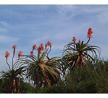 Aloes Photographic Print