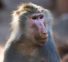 Hamadryas Baboon by Sue  Cullumber