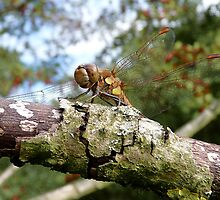 Dragonfly at rest by Adam North