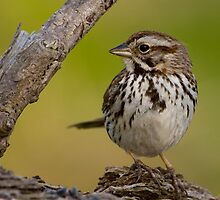 Song Sparrow by brm1949