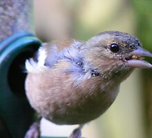 ay up, what's that?! Curious Chaffinch by monkeyferret