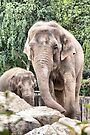 Asian Elephants by Colin Metcalf