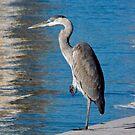 Great Blue Heron by Kent Burton
