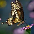 Giant Swallowtail by Victoria Jostes