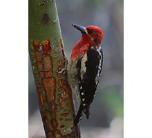Red-breasted Sapsucker Photographic Print