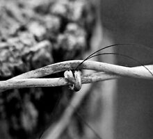 Horse Hair and Barbed Wire by Jay Stockhaus