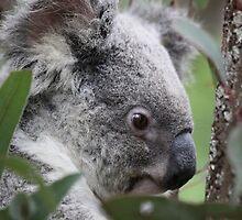 koala by aussieazsx