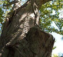 Arboretum Katsura Tree by photosbycoleen
