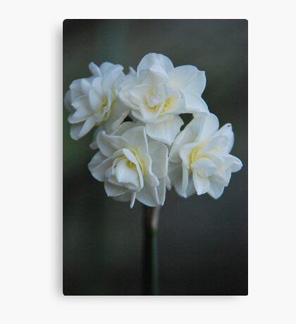Narcissus 'Erlicheer' Canvas Print