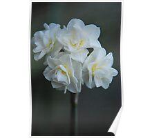 Narcissus 'Erlicheer' Poster