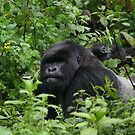 Silverback by naturalnomad