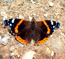 """""""Admirable Red Admiral"""" by Deb  Badt-Covell"""