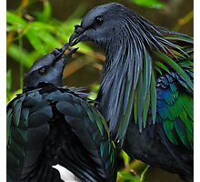 Nicobar Pigeon  Photographic Print