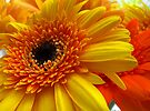 Orange & Yellow Gerbera close up by buttonpresser