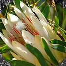 Protea repens by Shaun Swanepoel