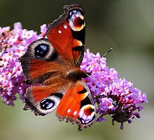 Peacock butterfly by Photo Scotland