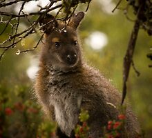 Winter Wallaby by Anthony Milnes