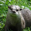 The European Otter (Lutra lutra) by angeljootje