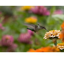 Sipping Zinnas Photographic Print