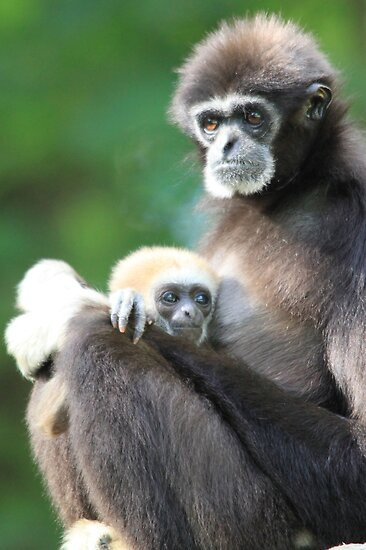 Lar Gibbon (Hylobates lar) with baby  by DutchLumix