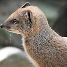 Yellow Mongoose (Cynictis penicillata) by DutchLumix