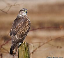 Wild Buzzard by markyboy1967