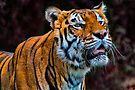 Talkin' Tiger by Chris Lord
