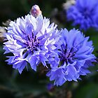 Cornflower by artsandherbs