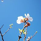 Blossoms & blue sky by Chanzz