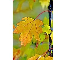 Yelllow Maple Leaf Photographic Print