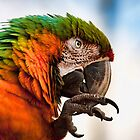 Macaw by Val Saxby