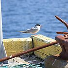 Sitting On The Dock Of The Bay - Arctic Tern by Leslie van de Ligt