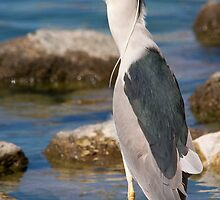 Black Crowned Night Heron by Chris Heising