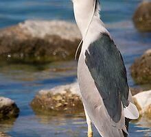 Black Crowned Night Heron by Chris Heising
