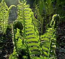 Ferns Backlit by Evening Sun by kkmarais