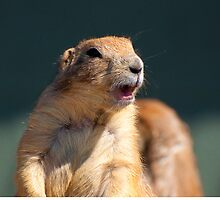 Prairie dog by imagetj
