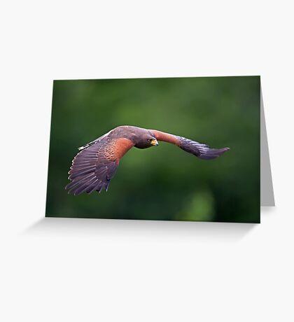 Harris Hawk in Flight Greeting Card