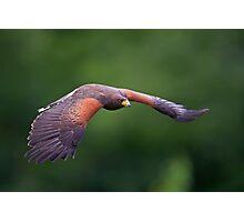 Harris Hawk in Flight Photographic Print