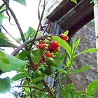 Berries Growing Under the Castle Window by jamsicle