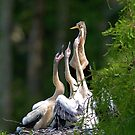 A Bunch of Hungry Anhingas by TJ Baccari Photography