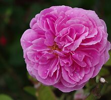 Pretty Pink Peony by DEB VINCENT