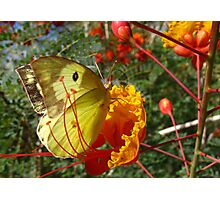 Butterfly ~ Southern Dogface Photographic Print