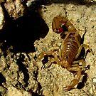 Stripe-tailed Scorpion by Kimberly Chadwick