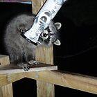 An easy meal ... raccoon kit by yeimaya