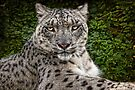 A Snow Leopard Portrait by Chris Lord